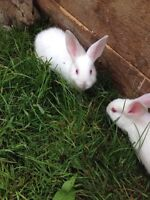 Pet bunny named snowball, 2 months old