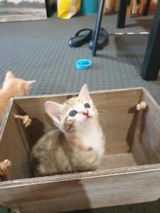 Last Female kitten