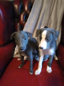 Whippet X bedlington greyhound