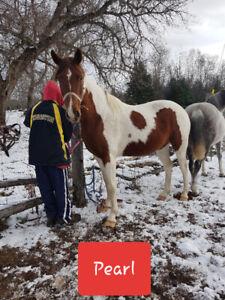 8 yr old mare Arabian paint quarterhorse for sale.