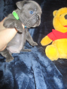 *RARE BLUE FRENCH BULLDOG* HEALTHIEST PUPPIES  FOR SALE