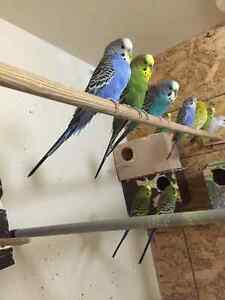 Cute Budgies for Sale