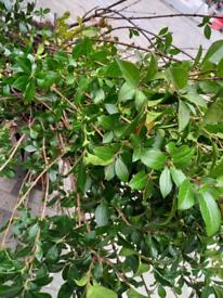 Privet hedging plants ligustrum vulgare