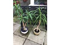 2 x tall indoor plants in pots