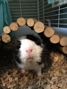 Two Guinea Pigs Needing a New Home