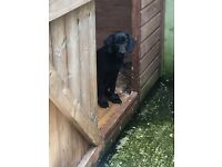 Black Labrador Bitch Pup 16 weeks old
