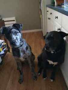 Male Great Dane mix - SALE FELL THROUGH - STILL AVAILABLE