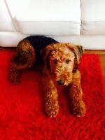 A vendre airedale terrier 6 mois