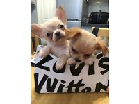 **female chihuahua puppy -READY NOW**