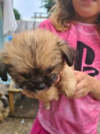 Shitzu x chihuahua pups