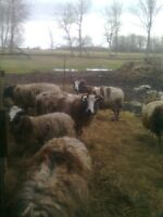 Starter flock of Jacobs sheep