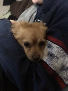 Looking for female long haired chihuahua