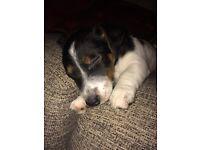 JRT dog pup