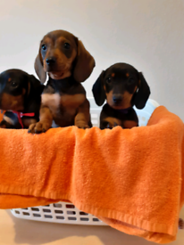 Dachshund puppies 2 boy 1 girl available