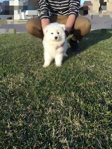 Beautiful Ice White Samoyed puppy for sale-one male left