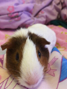 Young Guinea pig and cage