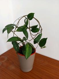 Hoya carnosa. Eh16 4