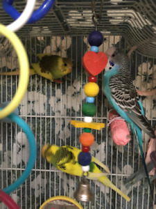 REDUCED: 3 young budgies with cage