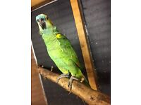 Blue fronted Amazon for sale