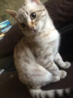 Gorgeous snow Bengal kittens on special !!