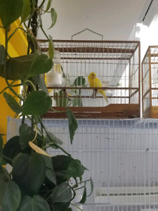 Beautiful selection of Canary birds for sale