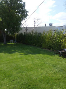 WHITE CEDAR TREES BEST PRICES AND DISCOUNTS