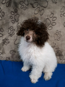 Handsome white and chocolate deluxe poodle for pet home