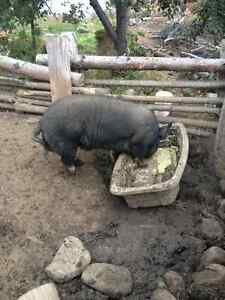purebred berkshire boar