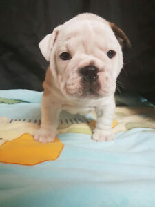 English Bulldog Kingbull Gatineau Ottawa / Gatineau Area image 5