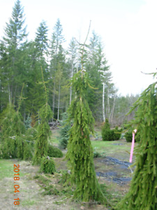 Weeping Green Spruce