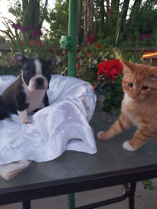 Male Boston Terrier Pup Ready ! Can Deliver !