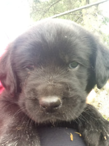 Beautiful Puppies for Sale! Shepherd lab x retriever
