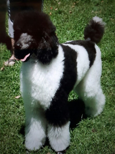 ***  WANTED STANDARD POODLE ***