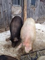 Sow and Boar for sale