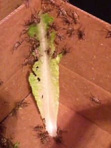 Super worms/Crickets/Meal worms Moose Jaw Regina Area image 2