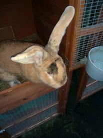Big beautiful continental giant rabbit