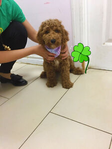 Teddy Bear Mini Goldendoodle puppies-update Aug.20th