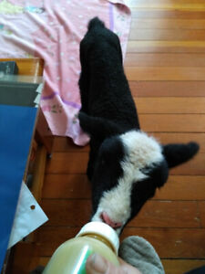 Orphan Lamb available