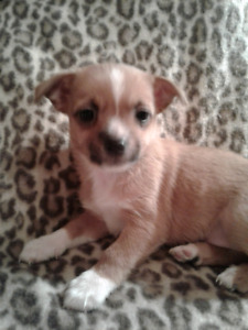 Puppies For Sale .  Vet checked, de-wormed, and first shots.