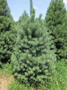 Christmas Trees - U Cut or We Cut