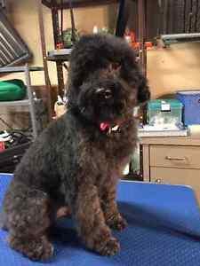 Dees Pampered Pooch - small dog groomer - West Hill Regina Regina Area image 7