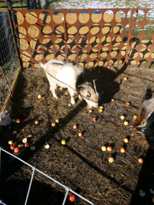 2 male goats for sale