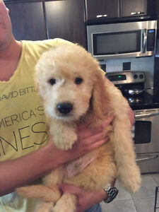 Charlie - Lovable Happy Goldendoodle