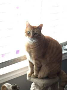 Missing: Orange tabby male cat - Langton