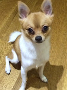 Lost Chihuahua White and Tan
