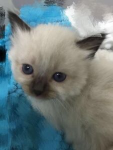 Beautiful ragdoll cat lookinf for new home Rhodes Canada Bay Area Preview