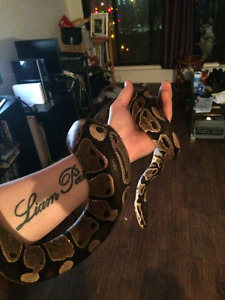 Female ball python and all accessories.