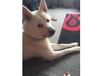 White Akita inu 2years old