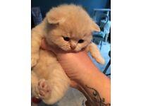 GGCF reg pedigree British shorthair kittens for sale