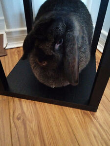 2.5 year old  Black Holland Lop